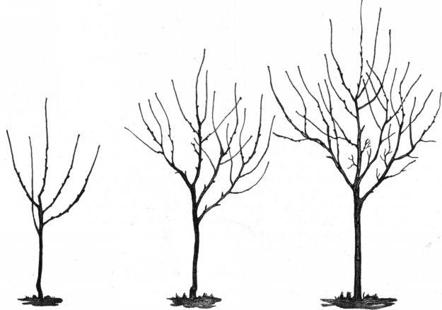 Обрезка молодых деревьев (до
