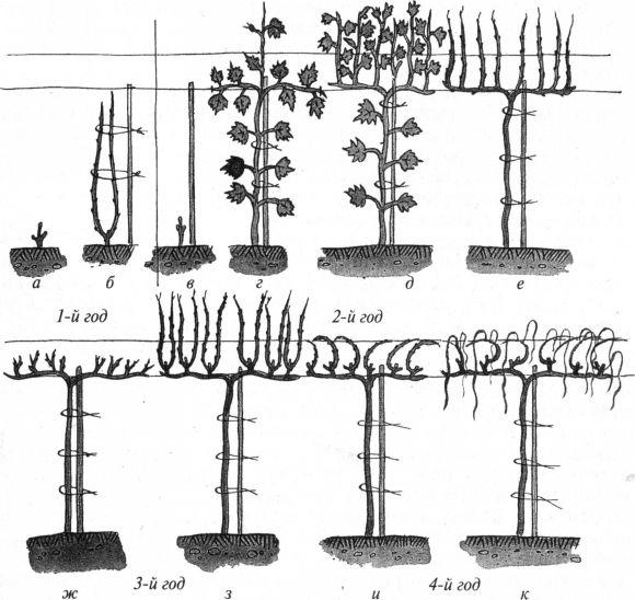Формирование кустов винограда
