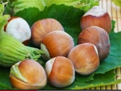 Лечебные качества орехов фундука ( лещины ) трудно переоценить. Они давно вошли в число высокоэффективных целебных растений. Калорийность и  Фото 1