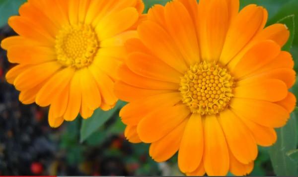 Календула ( ноготки ) - однолетнее травянистое растение до 60 см высотой. Родовое название происходит от латинского calendae — первый Фото 1