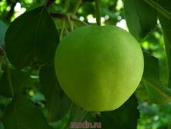 Посадка яблонь и груш