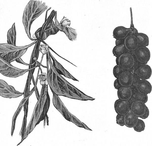 Морфологическое описание лимонника китайского