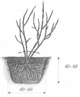 Агротехника выращивания смородины черной