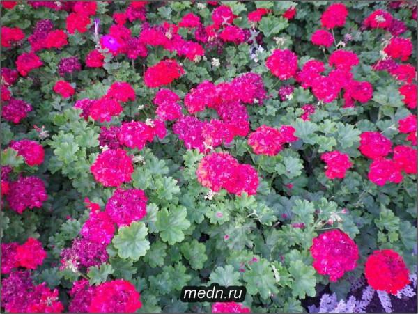 Герань ( Pelargonium spp. — Geraniaceae ) - пеларгония, которую обычно называют геранью, не следует путать с европейским  Фото 1