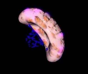 Селезенка - мало изученный орган человеческого тела. Как сказал один физиолог: «О селезенке, господа, мы ничего не Фото 1