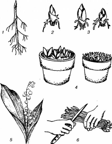 отбор корневищ для выгонки ландыша картинка стебельки цветков