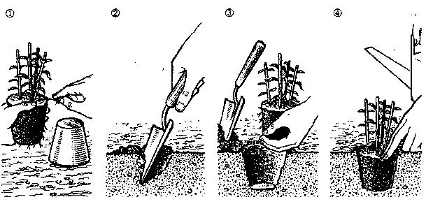 Посадка хвойных и вечнозеленых