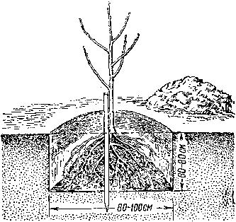 Дерево сажают на такую глубину, чтобы корневая шейка, то есть место перехода от ствола к корням, была на 6 см выше...