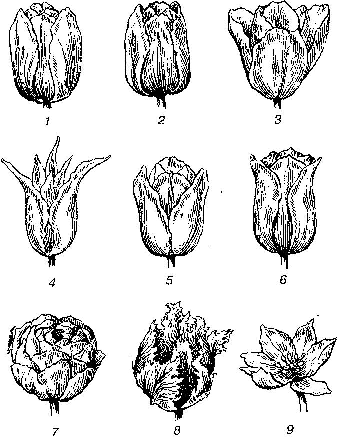 Тюльпаны после выгонки