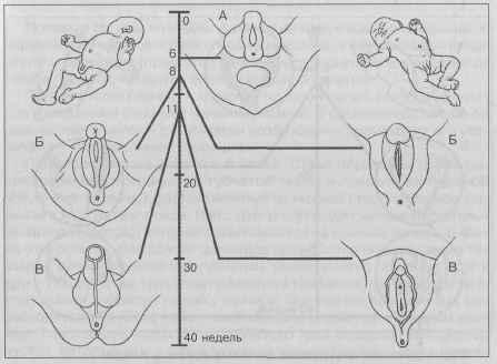 наружные половые органы