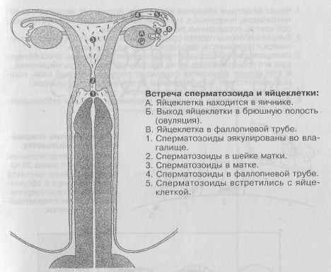 kak-bistro-spermotozoidi