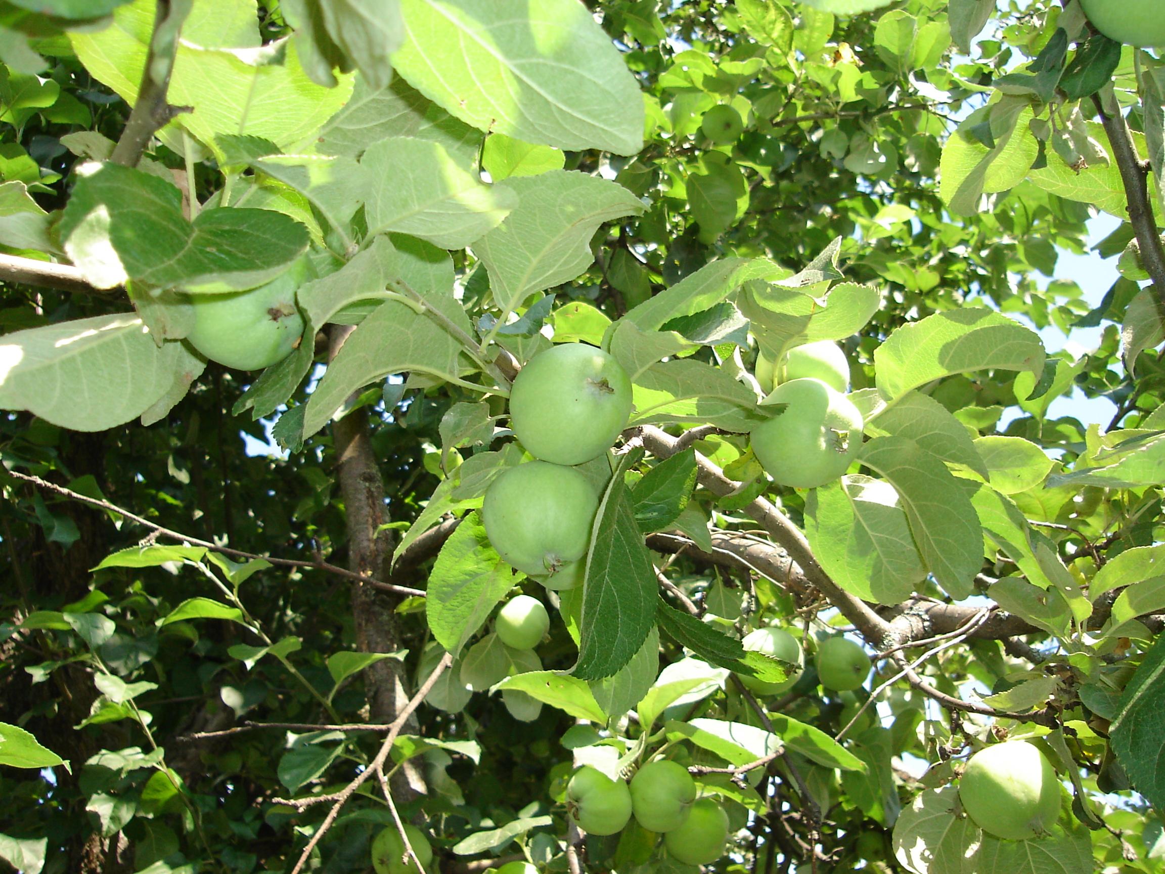 Что такое колонновидные яблони — ДАЧНИЦА